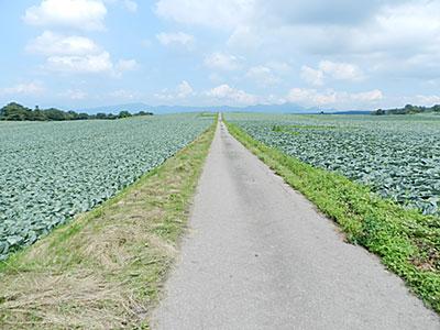 広大な高原に延々と続くキャベツ畑