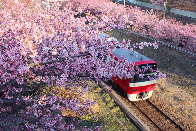 桜 2021 まつり 海岸 三浦